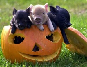 Halloween Swines