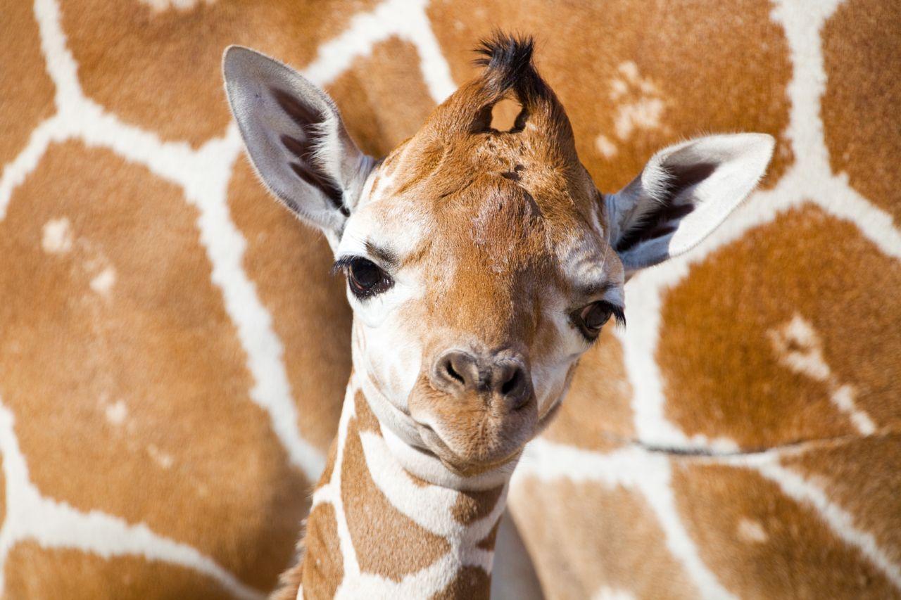 First Giraffe Baby of 2012 Born On Busch Gardens' Serengeti Plain