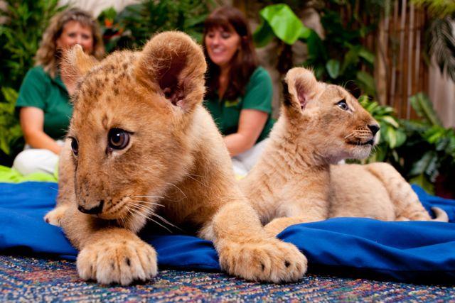 Busch Gardens Lion Cub Sisters