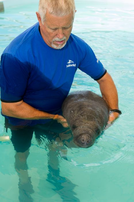 SeaWorld-s Animal Rescue Team Helps Orphaned Baby Manatee Swim