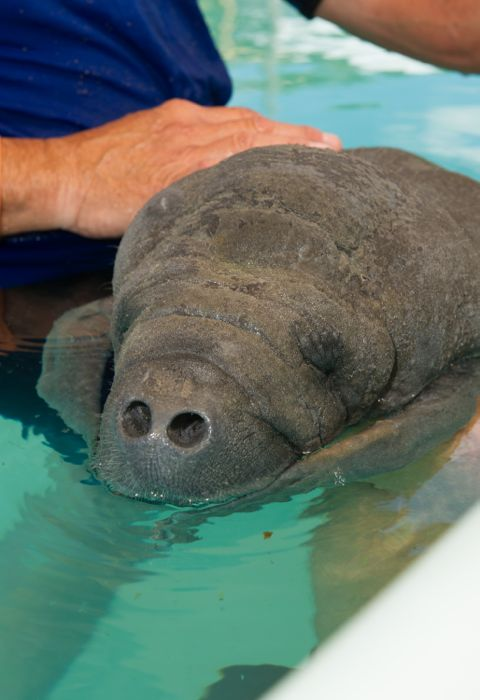 Up Close Shot of Rescued Orphan Manatee