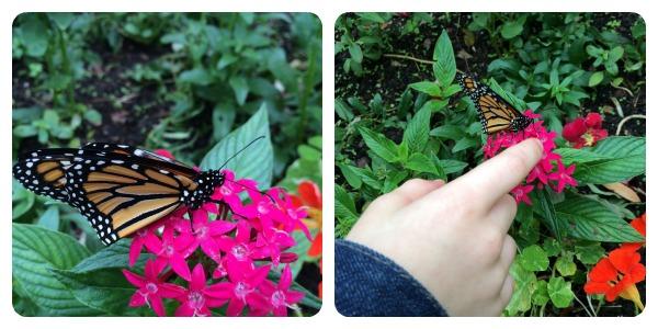 LeuButterflies