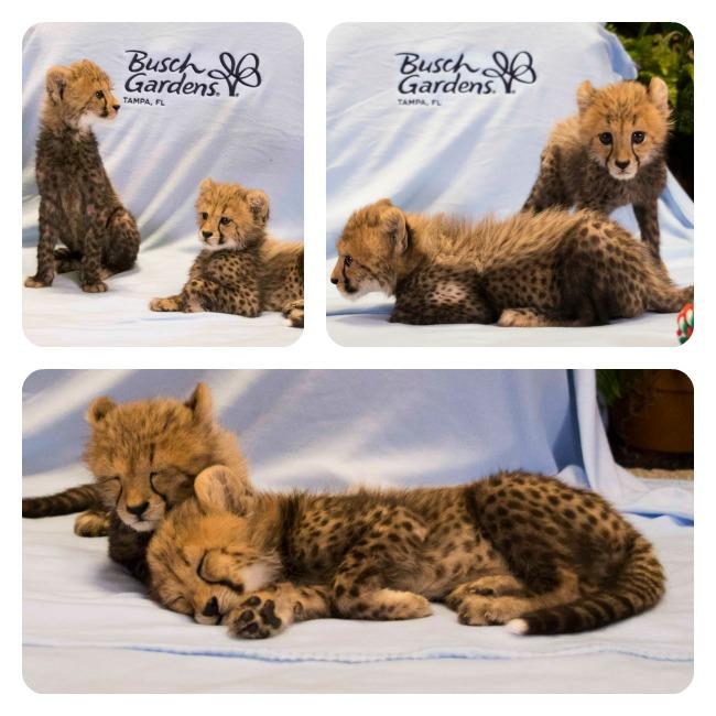 BG_Cheetahs