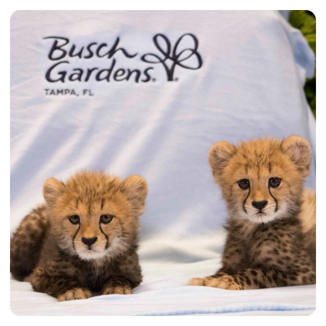 BG_Cheetahs2