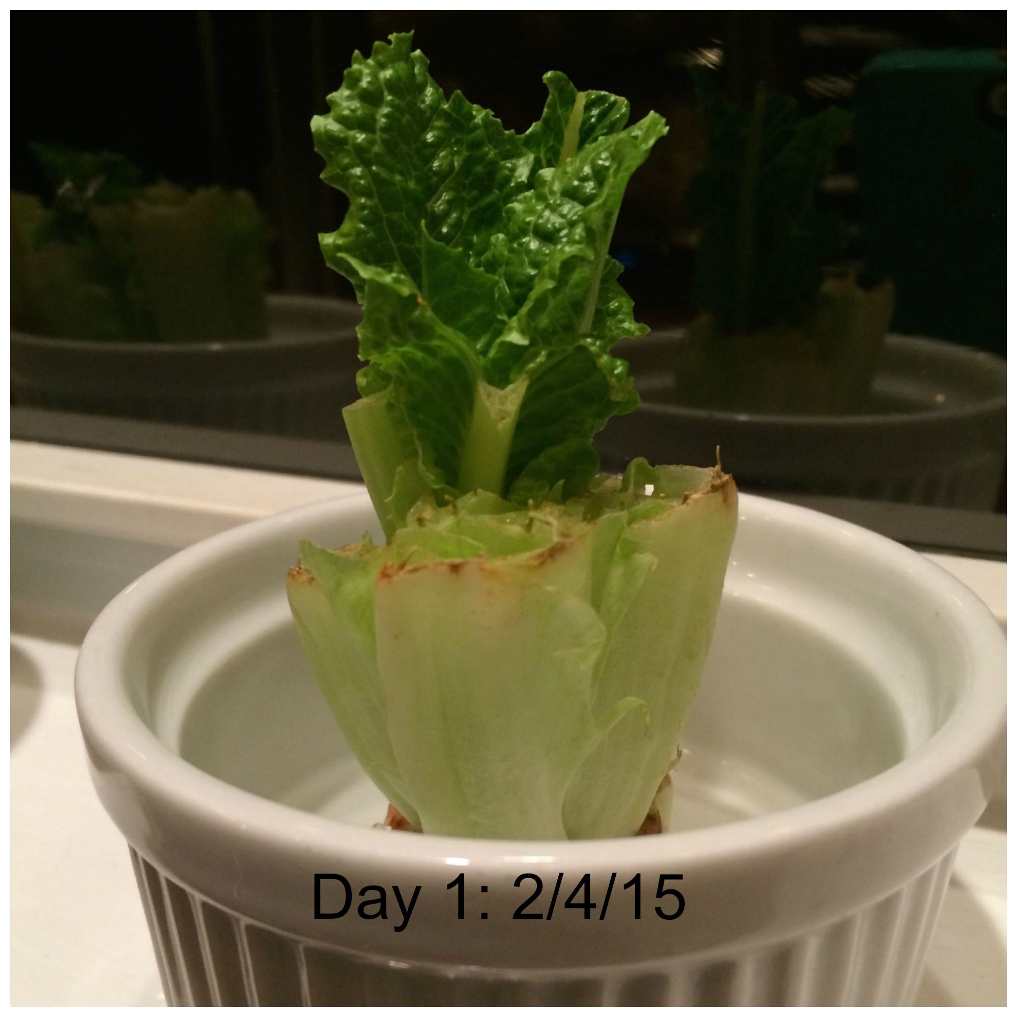 Day 1 Romaine Lettuce