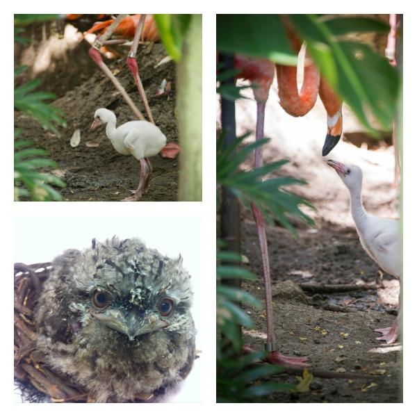 SeaWorld Orlando Welcomes Flamingo and Tawny Frogmouth Chicks