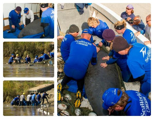 SeaWorld Orlando Animal Rescue Team Traveled to Savannah to Rescue Cold-Stressed Manatee