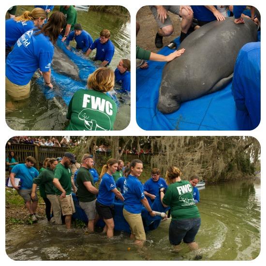 SeaWorld Orlando Returns Two Rehabilitated Manatees To Wild