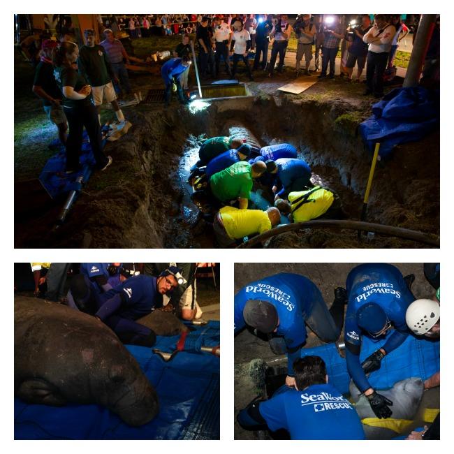 SeaWorld Animal Rescue Team Rescued 19 Manatees Stuck In A Drainpipe #SeaWorldCares #SeaWorldRescue
