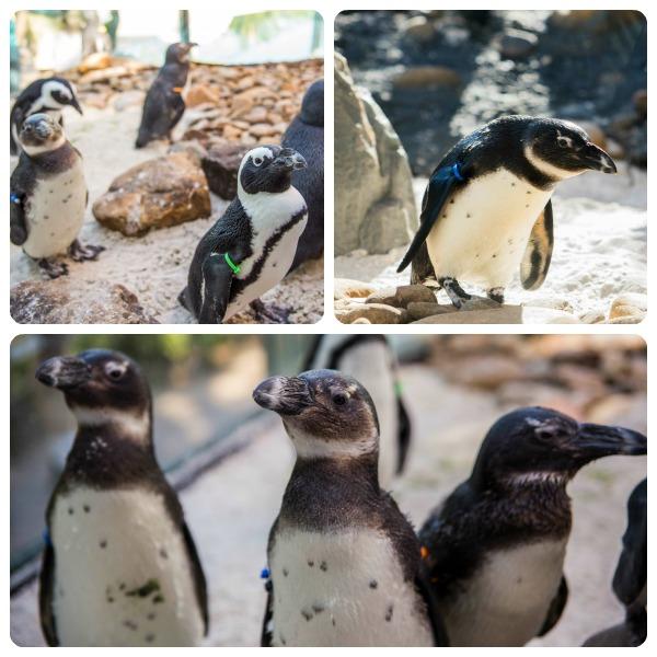 SeaWorld and Busch Gardens Highlight Endangered Species Day #savingspecies