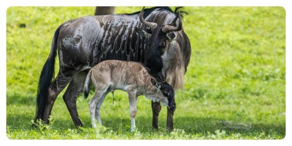 @BuschGardens Tampa Welcomes Baby Wildebeest